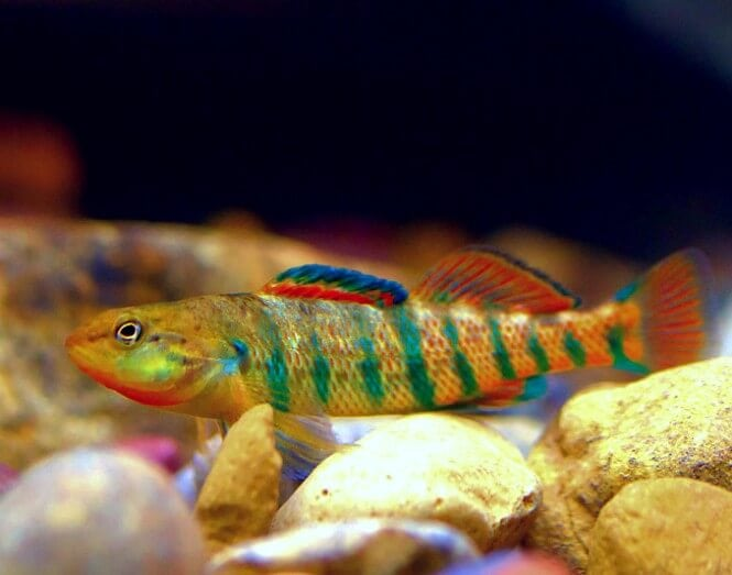 Ranbow Darter Fish