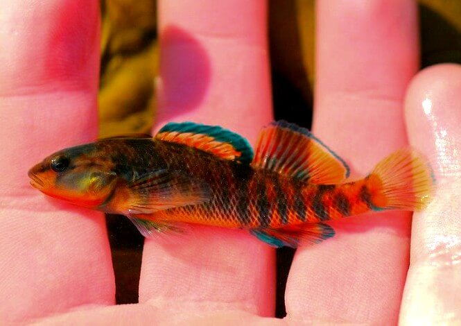 A small Rainbow Darter Fish that's amazingly colorful