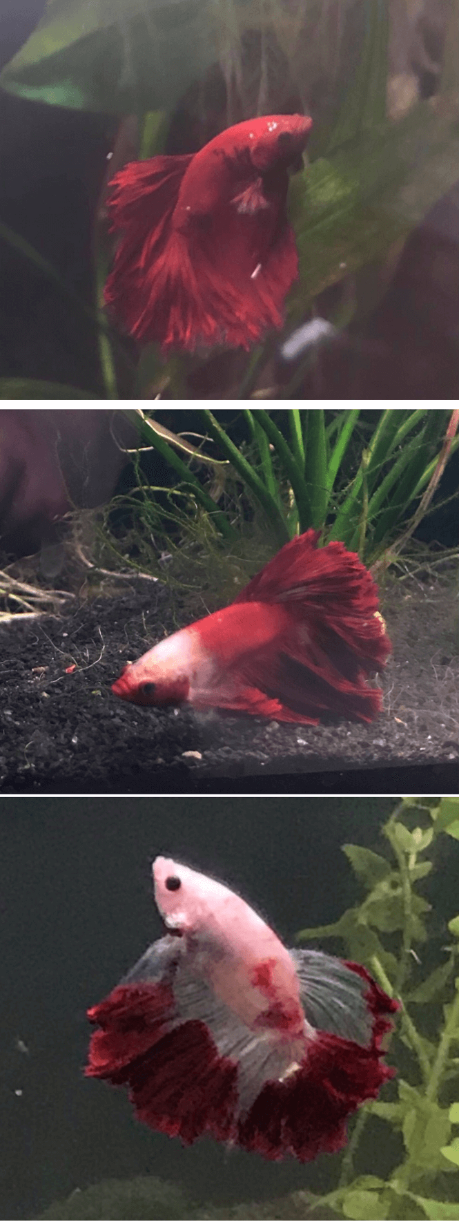 Before and after progression of a Marble Betta turning from red to pale pink and white