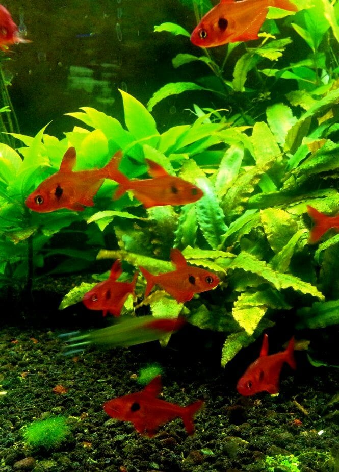 A large school of Red Phantom Tetras showing thier contrasting colors