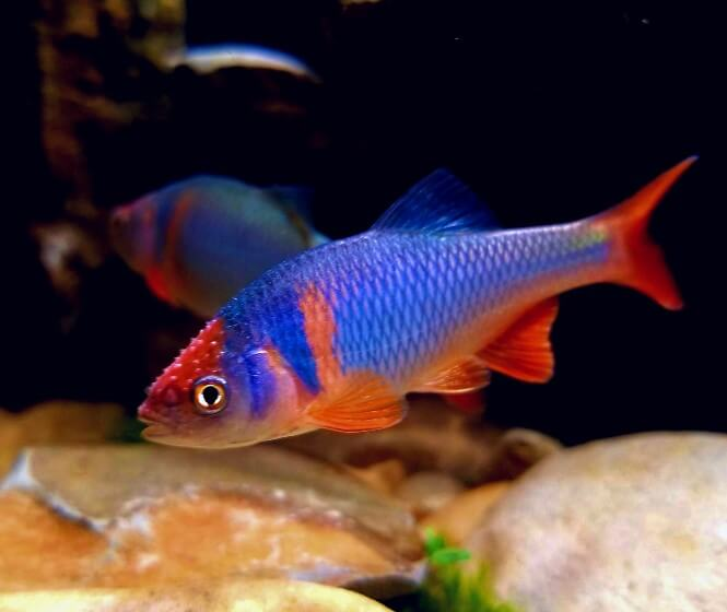 A brightly colored Redfin Shiner fish in an aquarium