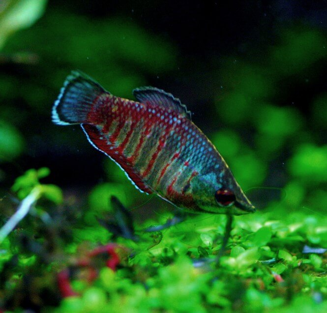 A Samurai Gourami with red and blue patterns enjoying its planted aquarium