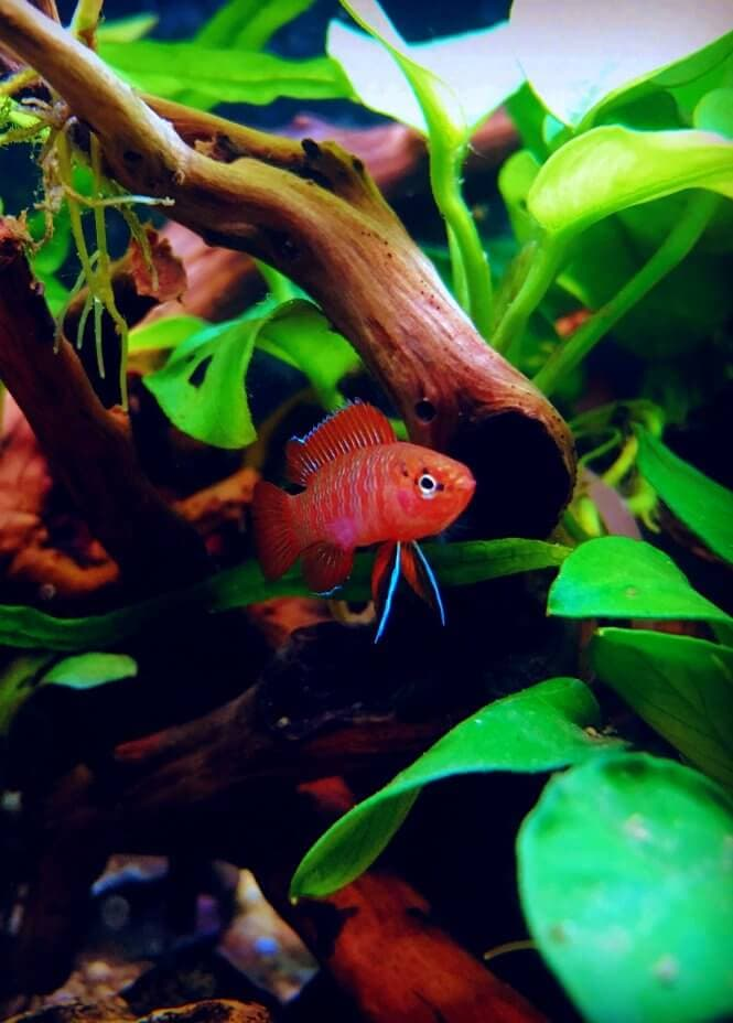 A Scarlet Badis fish with bright red and neon blue colors