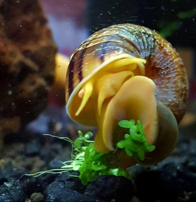 Spixi snail on aquarium glass