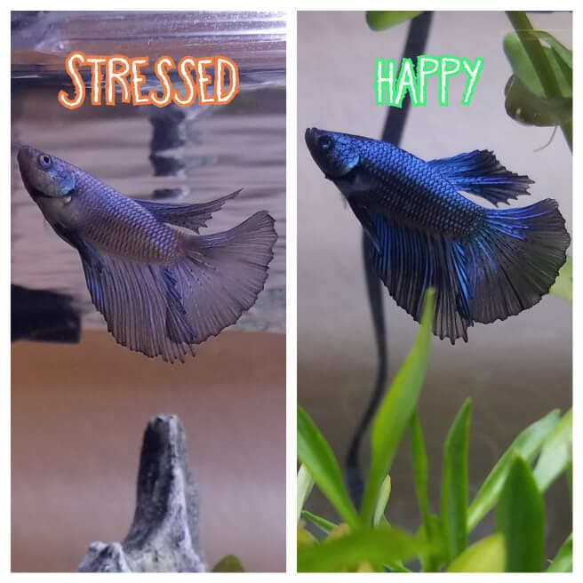 The same Betta before and after losing its color due to stress