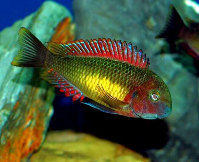 A Tropheus Kasanga Rainbow Cichlid showing its vibrance