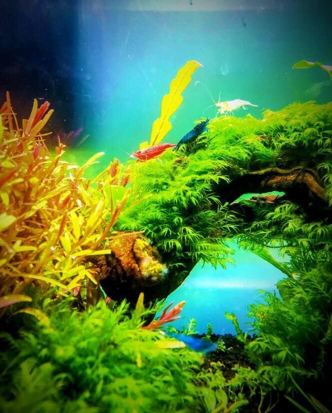 Beautiful shrimp in a heavily planted aquarium.