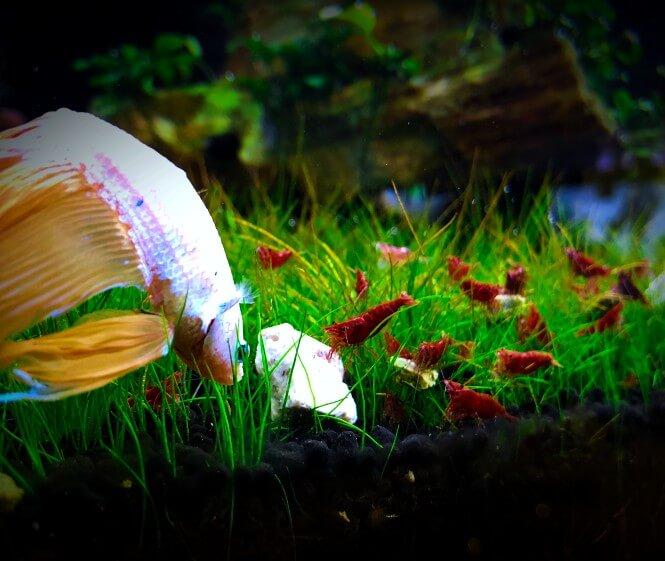 Betta and shrimp in a carpet of dwarf hairgrass.