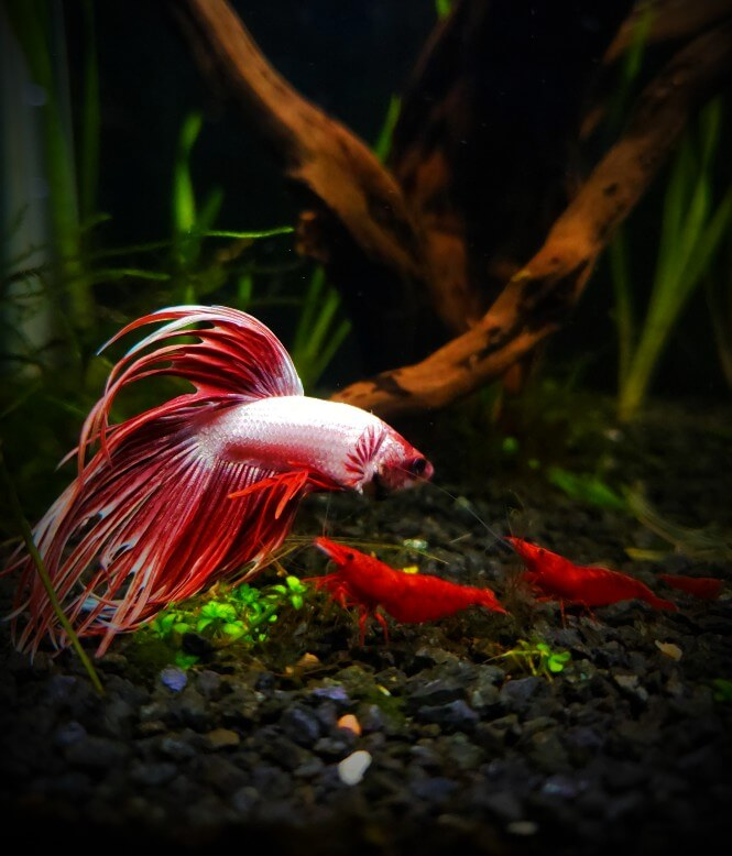 Crown tail betta fish and red cherry in the same tank.