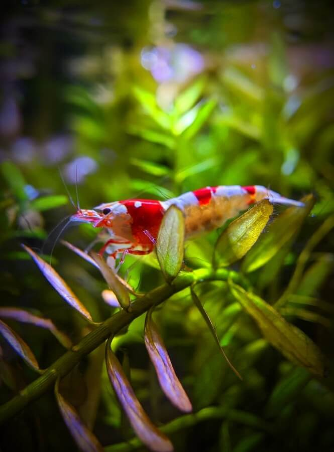 A Brightly-colored Crystal Shrimp.