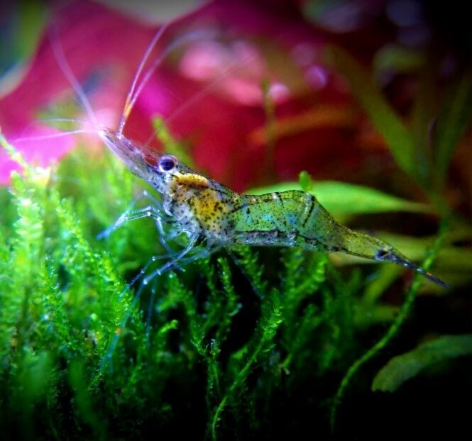 A ghost shrimp in a planted tank.