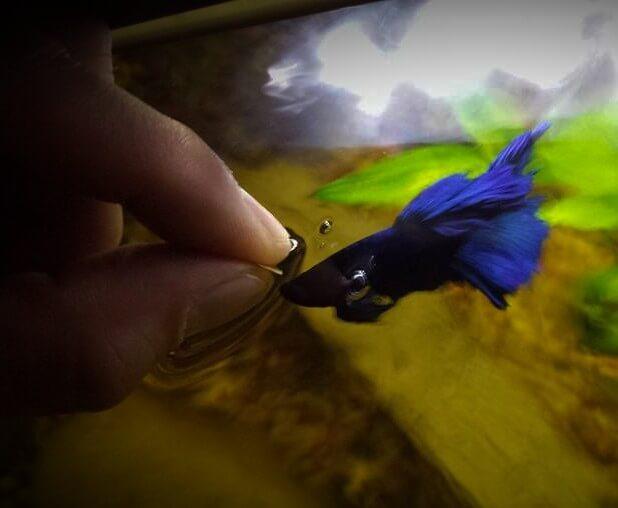 A hand feeding a Blue betta fish.