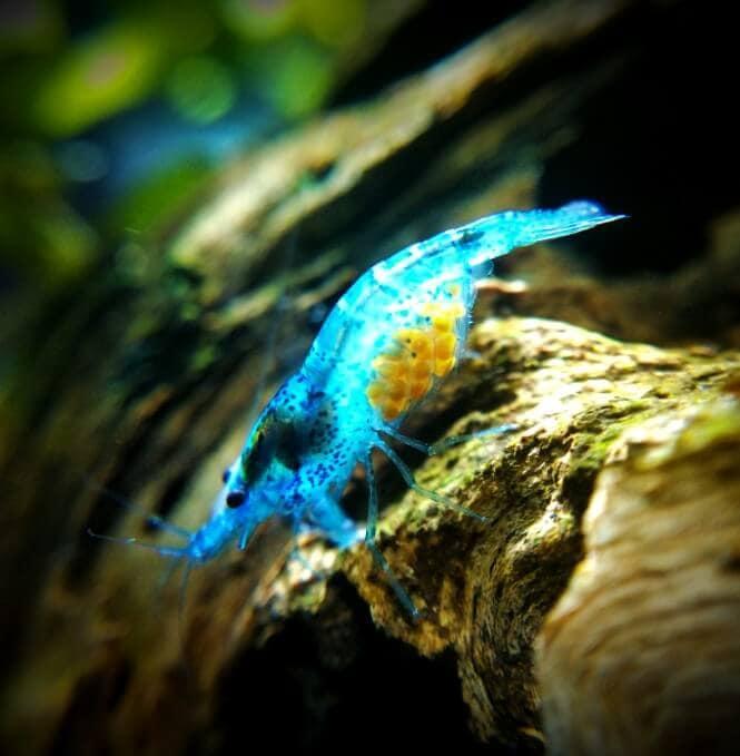 A photo of a blue velvet shrimp that's pregnant.