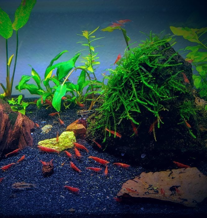 Too many shrimp in a planted tank