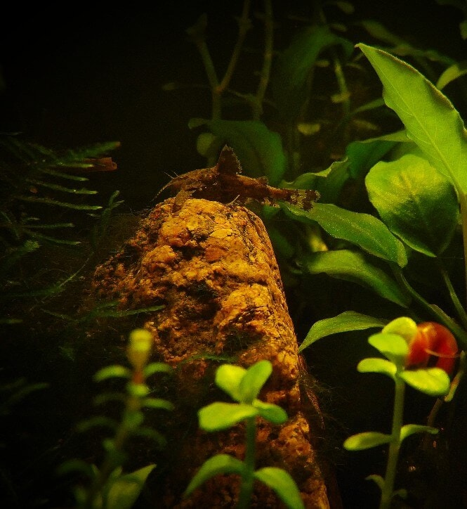 Asian Stone Catfish on a rock in a planted tank