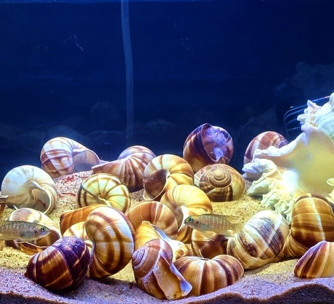 A 5-gallon tank set up with Brevis Shell Dwellers