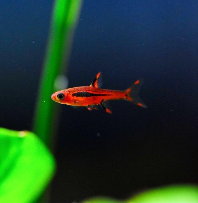 a tiny Chili Rasbora fish