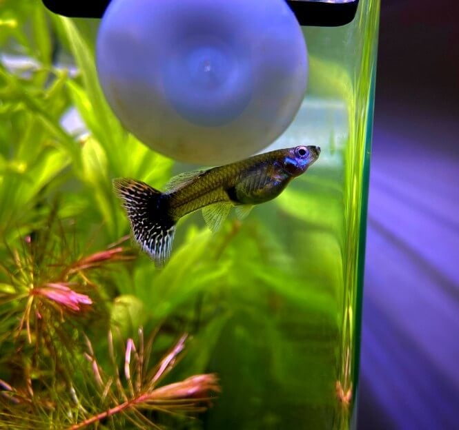 A small Guppy fish swimming next to the aquarium glass
