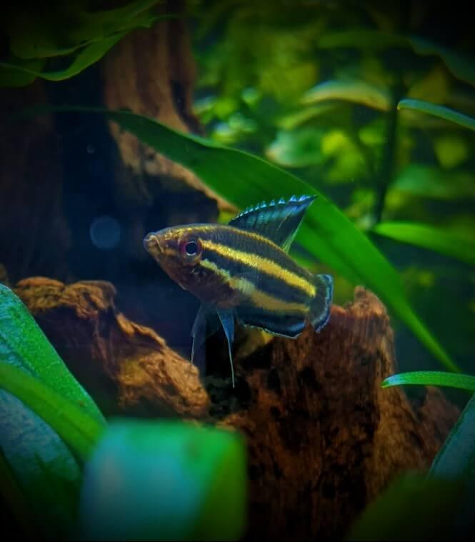 A close-up of a Licorice Gourami fish