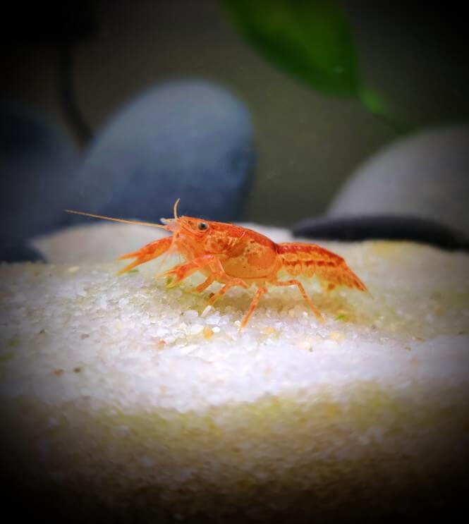 a Mexican Dwarf Crayfish