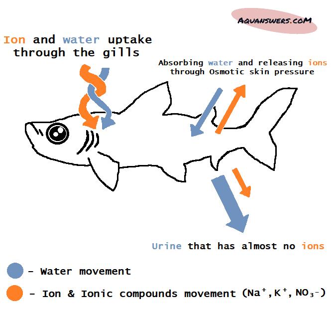 An illustration explaining how Osmoregulation works in freshwater fish