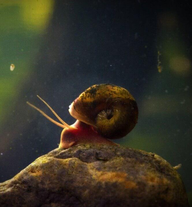 A Ramshorn snail
