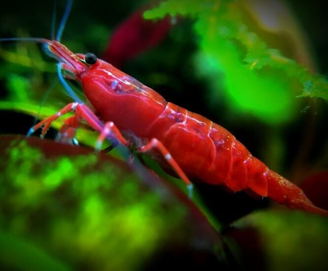 A close-up of an adult Red Cherry Shrimp