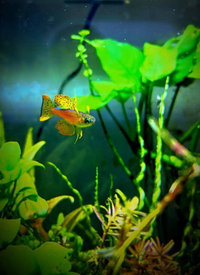 A Neon Red Blue-Eyed Rainbowfish in a 5-gallon aquarium with aquatic plants