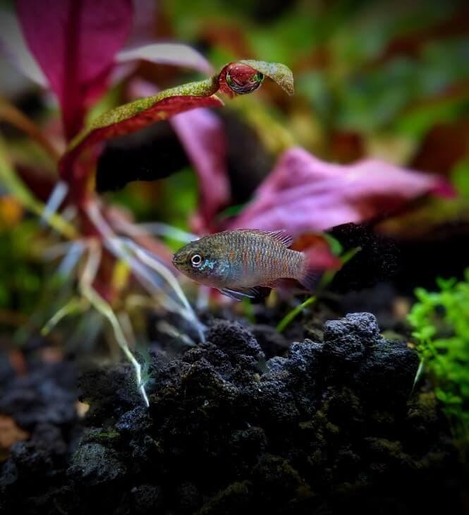 A young Scarlet Badis fish