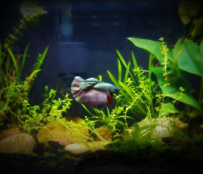 A small tank with a Betta fish and some freshwater plants