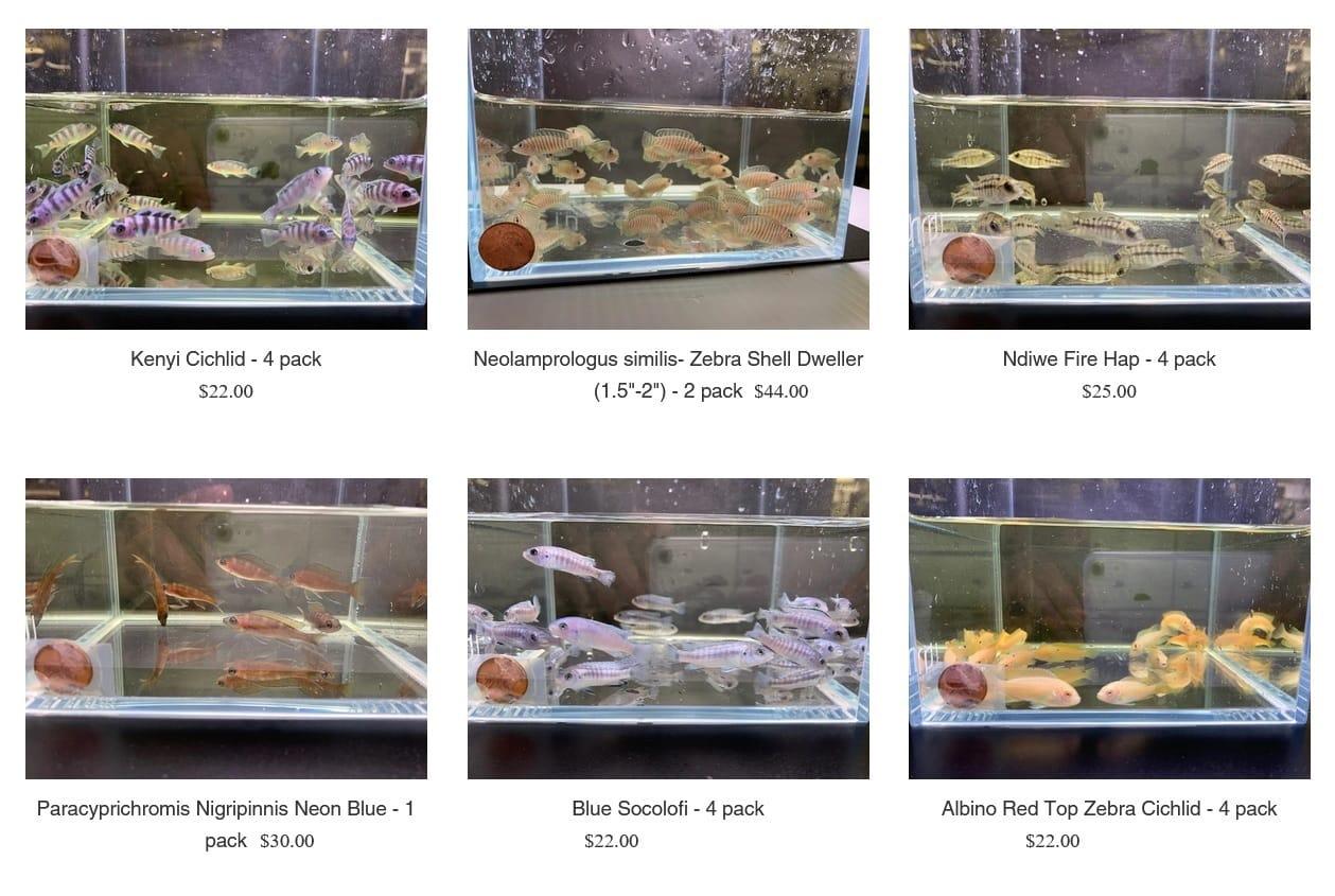 AquaHuna selection of Cichlids for sale