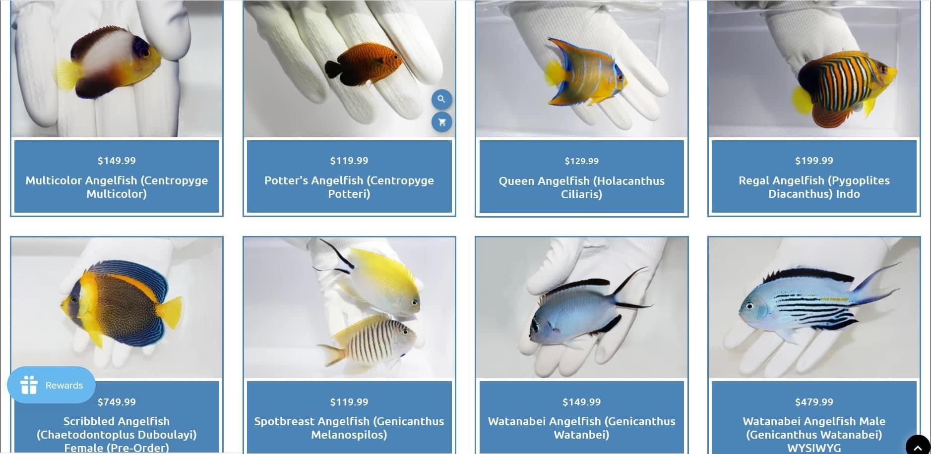 tsmaquatics collection of live saltwater angelfish