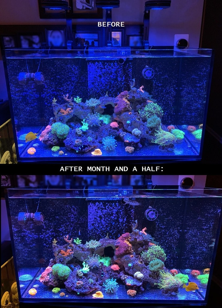 AI Prime 16HD growing some beautiful corals in a reef tank