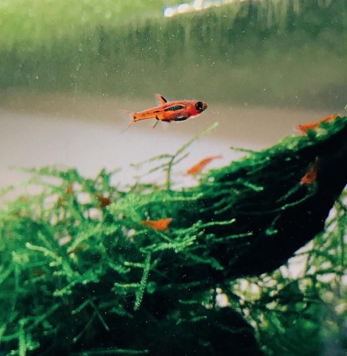 chili rasbora in shrimp aquarium
