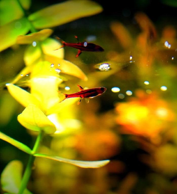 a chili rasbora in a blackwater aquarium