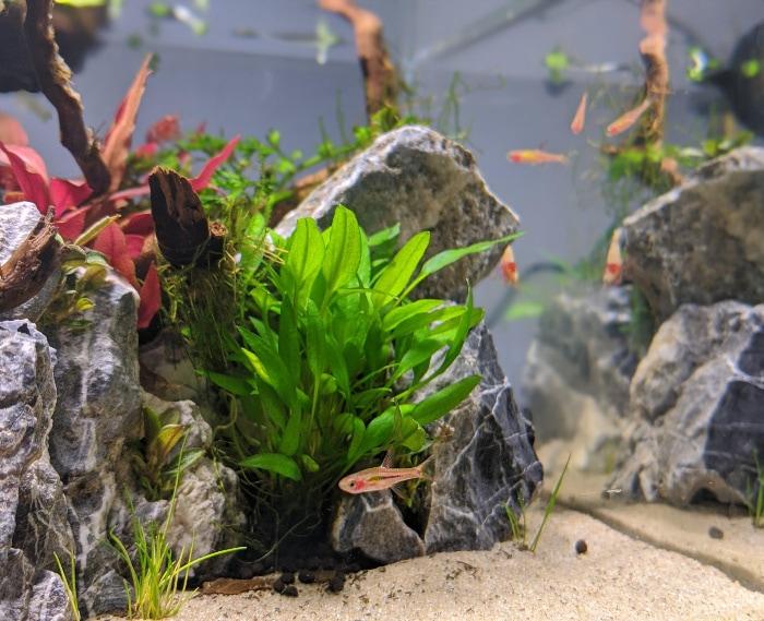 school of chili rasbora fish in a planted tank