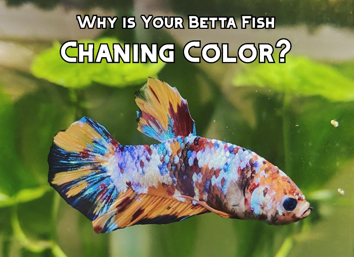 betta fish changing color header