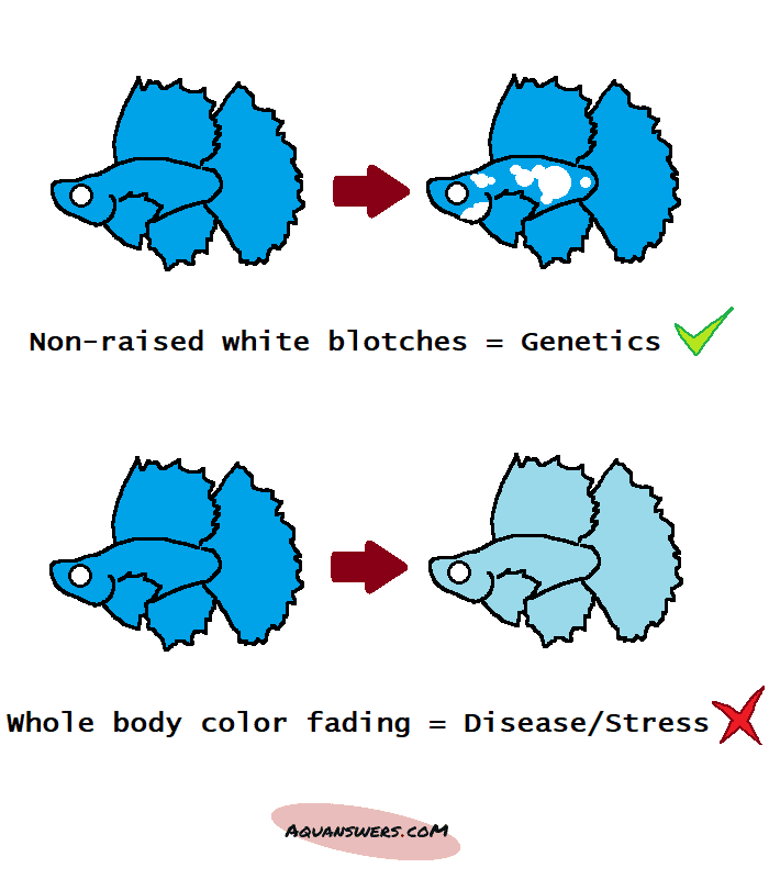 difference between a betta turning white and pale