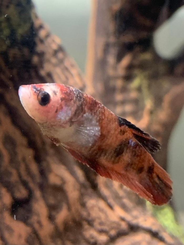 betta fish with white spot disease