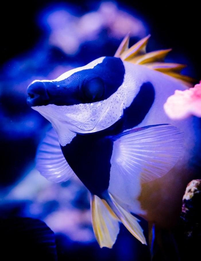 one spot foxface rabbitfish