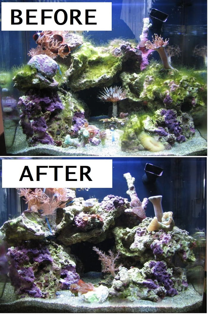 trubo snail eating algea before and after comparison