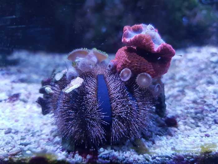 tuxedo urchin camouflage objects