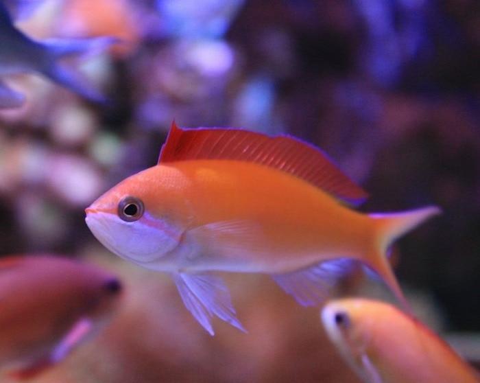 dispar anthias fish