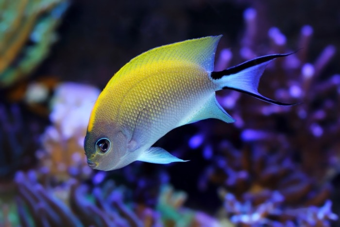 spotbreast swallowtail angelfish