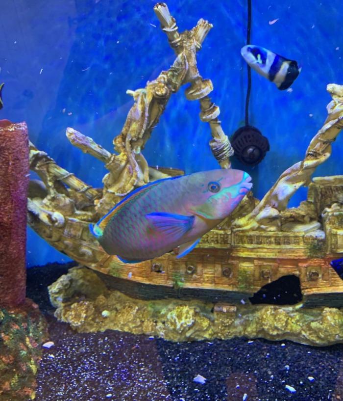 quoyi parrotfish