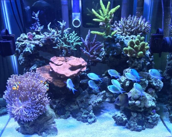 reef aquarium with schooling chromis fish