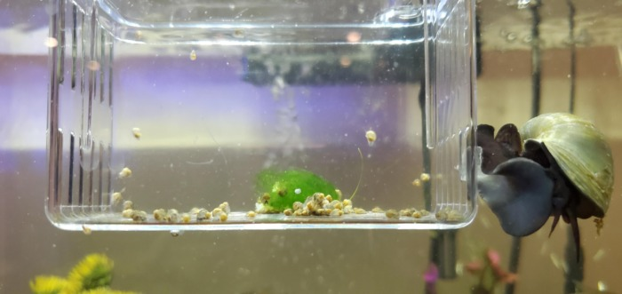 hatching mystery snails in a breeding box