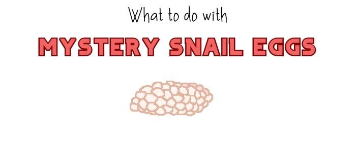 mystery snail eggs header
