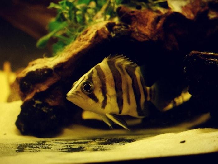 indonesian tigerfish