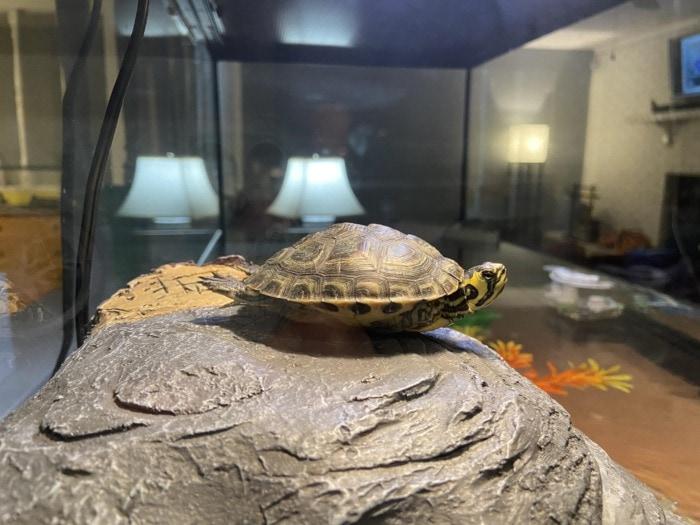 aquatic turtle basking under light